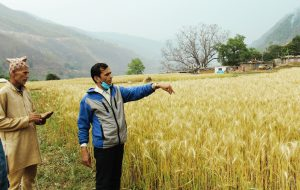 A researcher and a farmer observe the newly released biofortified wheat varieties in the mid- to high-hills in Nepal.