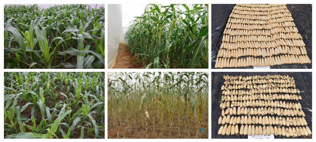 The new hybrids (top) responded well to artificial fall armyworm infestation, compared to commercial varieties included as checks in the study (bottom).