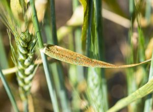 Wheat leaf rust symptoms in the field. The fungus, Puccinia triticina, forms small reddish-orange pustules or uredinia, which rupture the upper surface of the leaf blade as the spores mature.