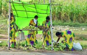 Women from a farmer producer group sell green cobs by the national highway next to their maize farm.
